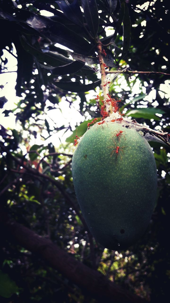 fruit, tree, food and drink, growth, green color, food, freshness, healthy eating, unripe, no people, nature, day, outdoors, branch, hanging, close-up, beauty in nature
