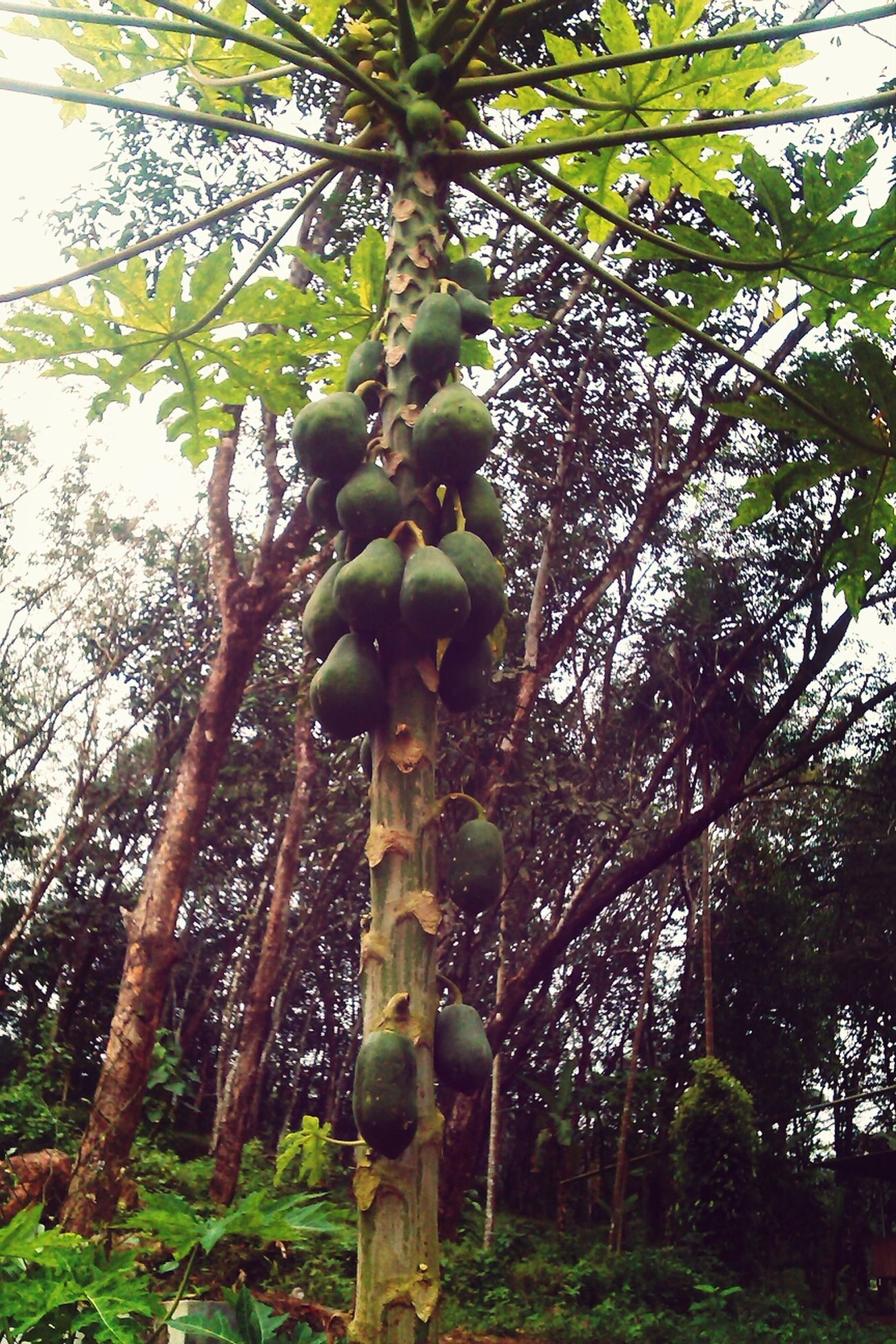 Relaxing papaya tree