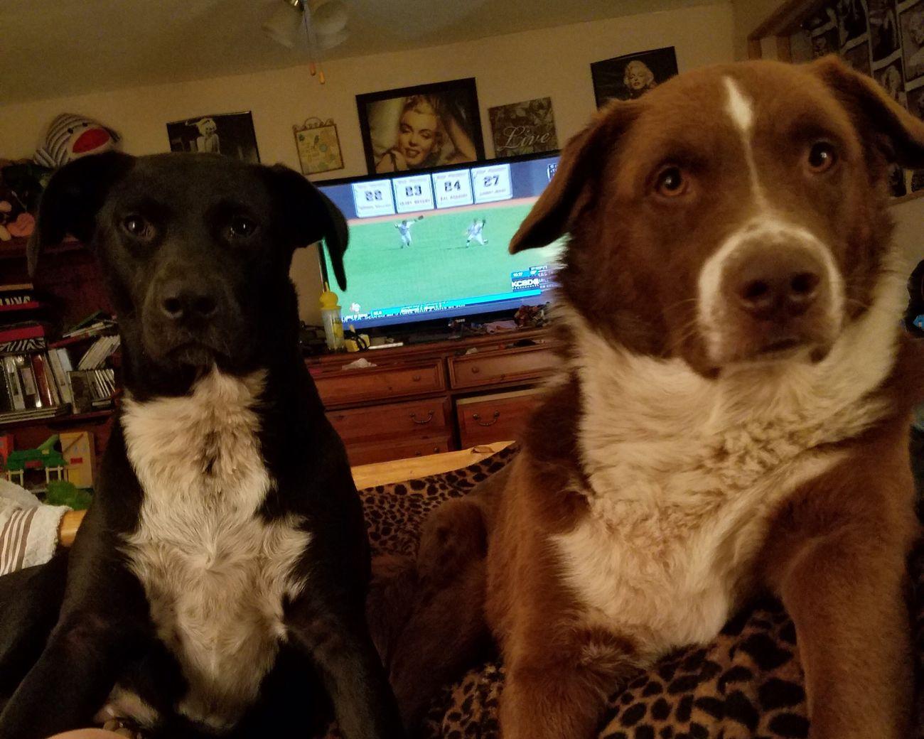 Sadie & Spike. 😍 Dog Black Mouth Cur Blue Heeler Australian Shepherd  Pitbull