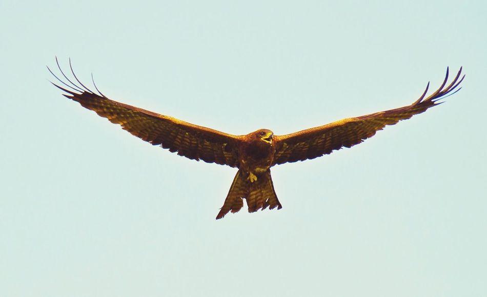 Beautiful stock photos of eagle, Animal Behavior, Animal Themes, Beak, Bird