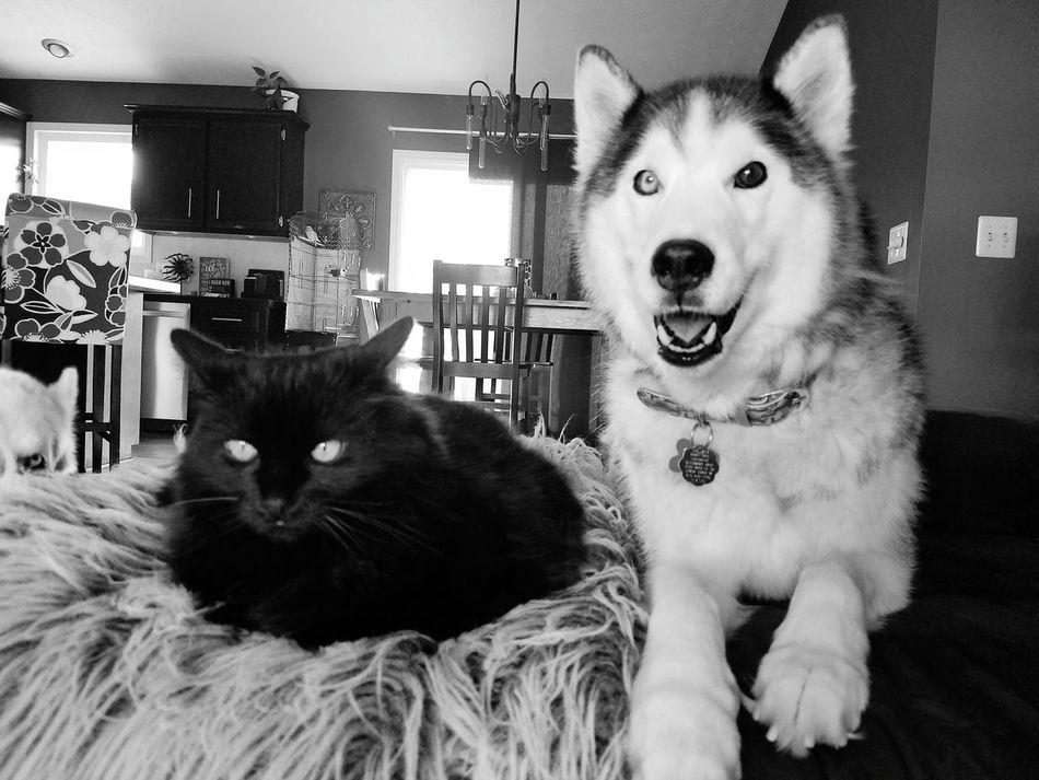 Pets Domestic Cat Domestic Animals Animal Indoors  Dog EyeEmNewHere Indoors  Huskiesrule Huskey Huskylovers