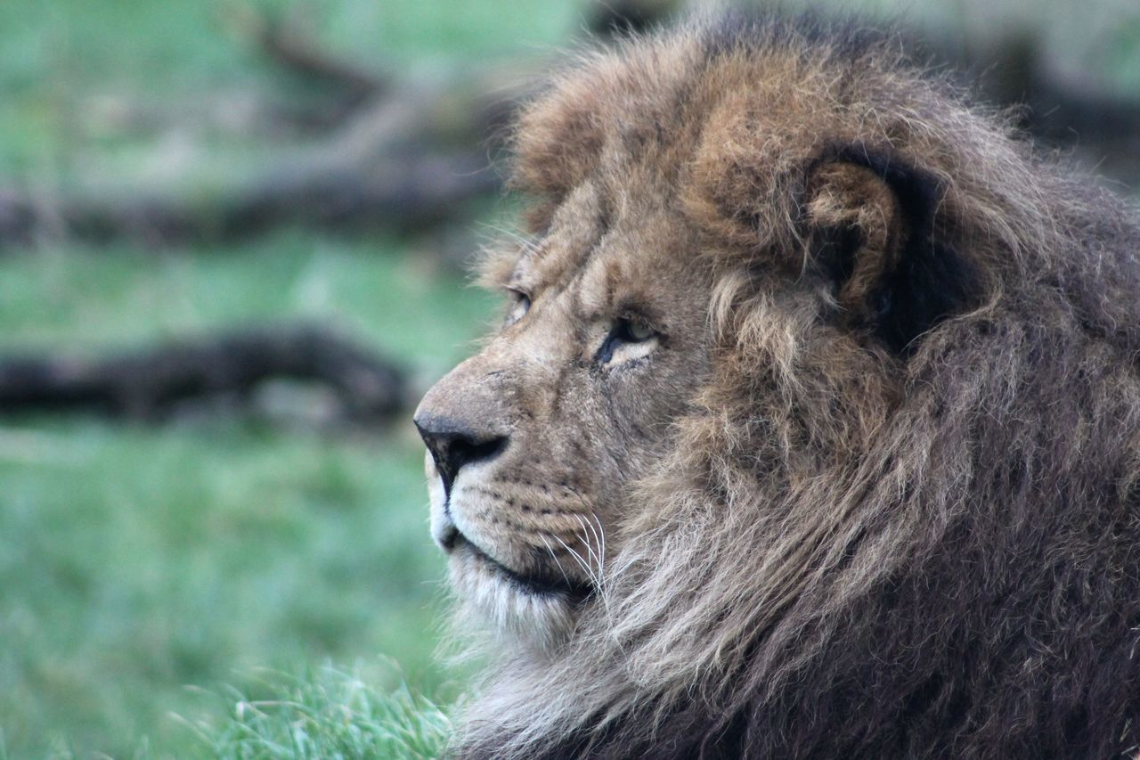 Beautiful stock photos of lion, Animal Hair, Animal Head, Animal Themes, Animals In The Wild