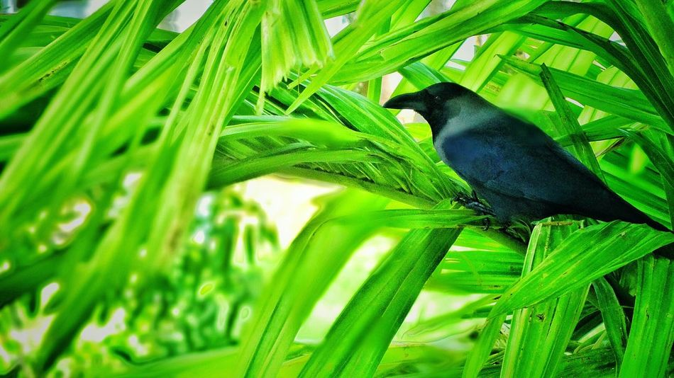 Crow ..:p Green Crow Bird Digicam Photography EyeEm Best Shots Tadaa Community College Campus EyeEm Masterclass Nature