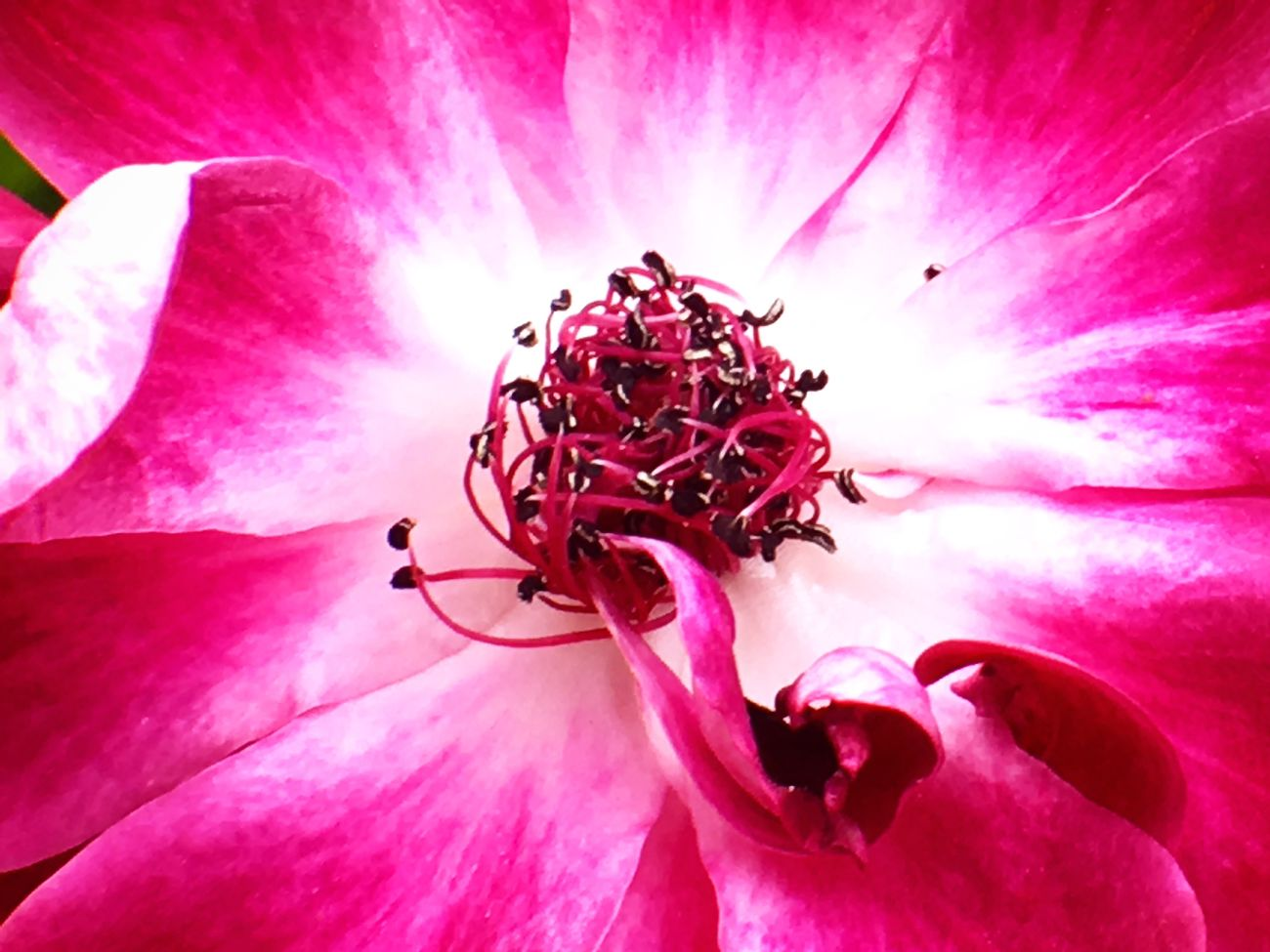 Flower Petal Fragility Beauty In Nature Freshness Nature Flower Head Growth Pollen Pink Color Outdoors Close-up Blooming Day No People Backgrounds Maroon