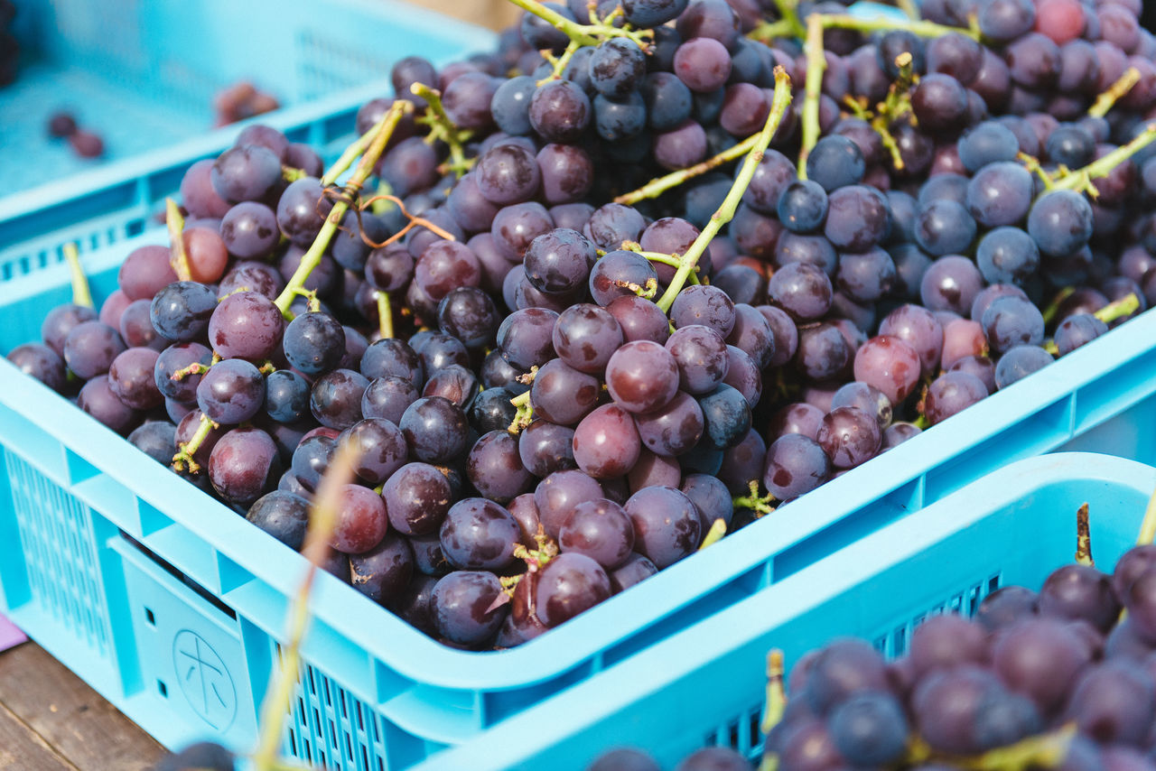 Harvesting of wine grapes in Yamanashi, Japan. Close-up Day Food Food And Drink For Sale Freshness Fruit Grape Grapes Harvest Healthy Eating Market Stall Natural No People Outdoors Plum Retail  Yamanashi