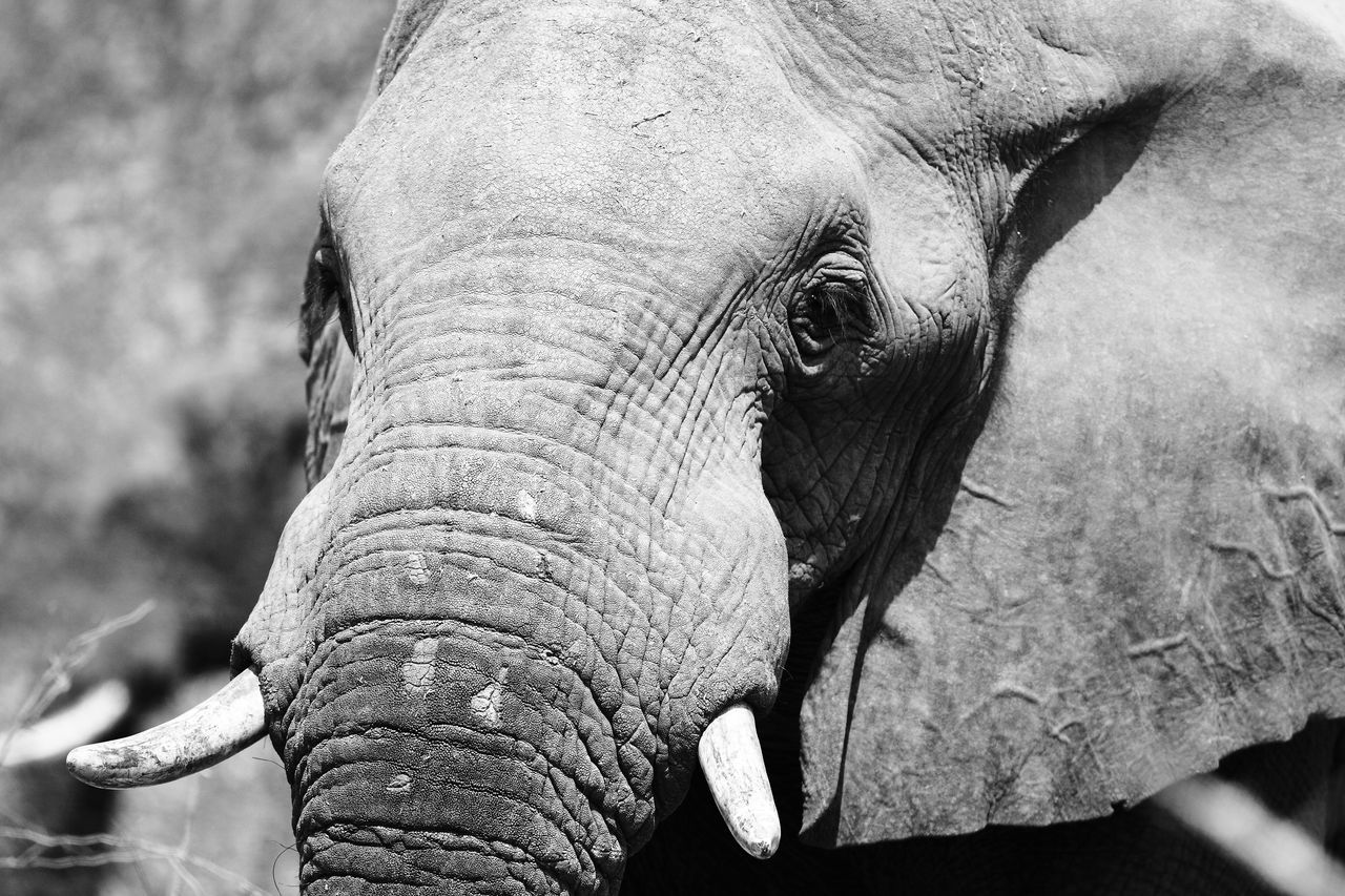 Tarangire, Tanzania Africa Animal Body Part Animal Eye Animal In Wild Animal Instincts Animal Wildlife Beauty In Nature Black And White Close-up Elephant Elephant Art Fine Art Ivory Looking In Your Eyes Majestic Portrait Of Elephant Safari Animals Selective Focus Tusks Wildlife