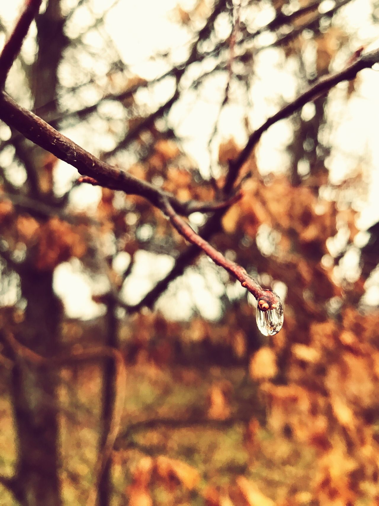 Focus On Foreground Nature Tree No People Outdoors Day Close-up Branch Beauty In Nature Autumn Fall Rain RainDrop Rainy