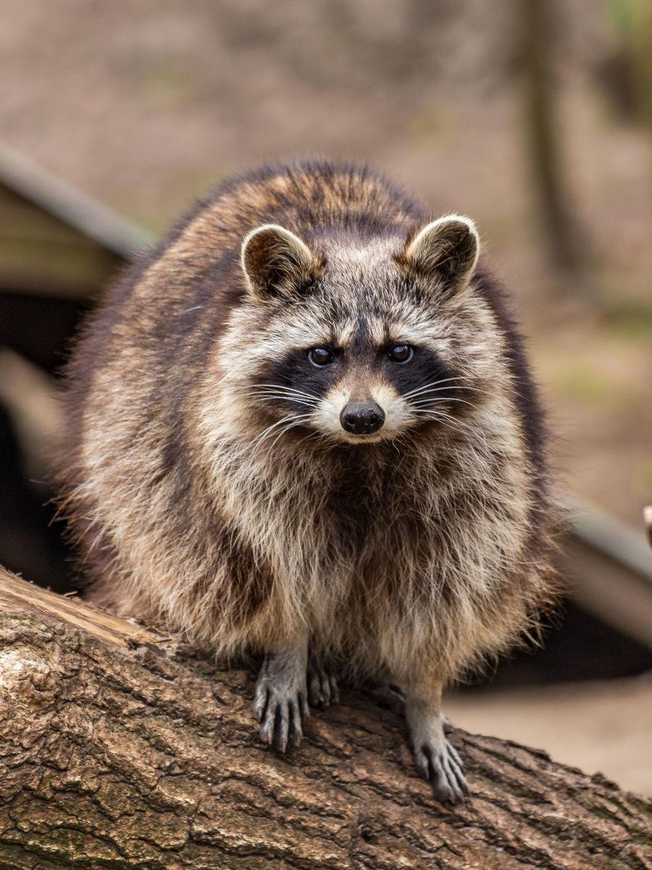 Beautiful stock photos of raccoon, Animal Themes, Animal Wildlife, Animals In The Wild, Branch