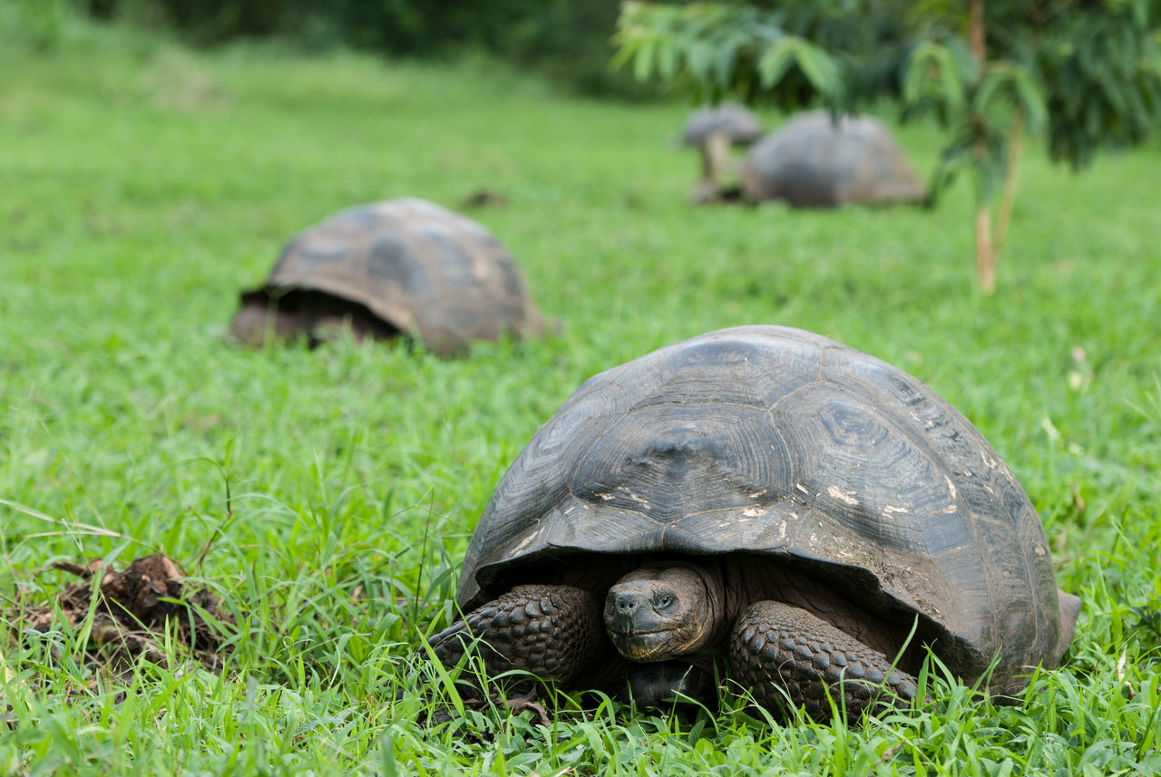 Galapagos Giant Tortoise Animals In The Wild