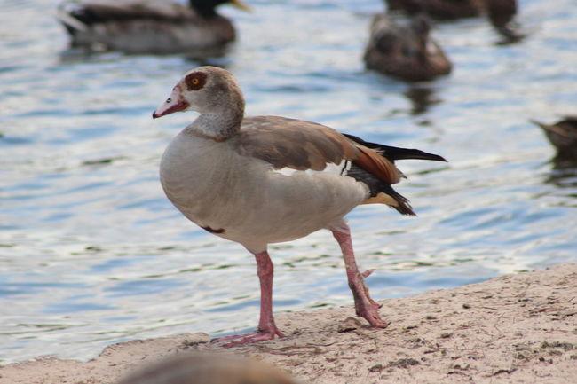 Animal Themes Animals In The Wild Avian Beak Beauty In Nature Bird Birds Egyptian Goose Eyemphotos Nature One Animal Popular Photos Sand Shore Water Water Bird Wildlife