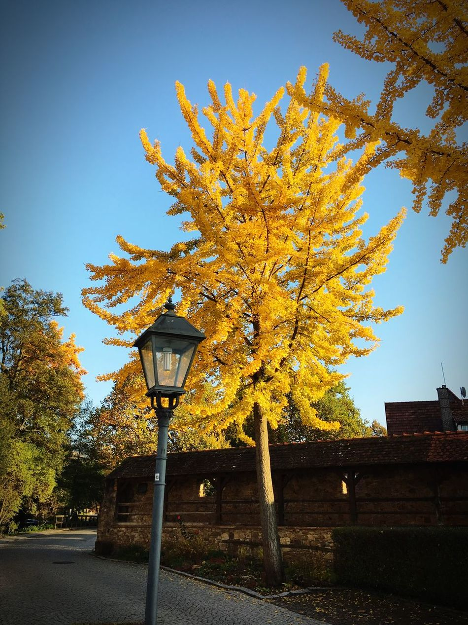 Tree Growth Yellow No People Nature Outdoors Clear Sky Flower Day Beauty In Nature Autumn Built Structure Sky Architecture