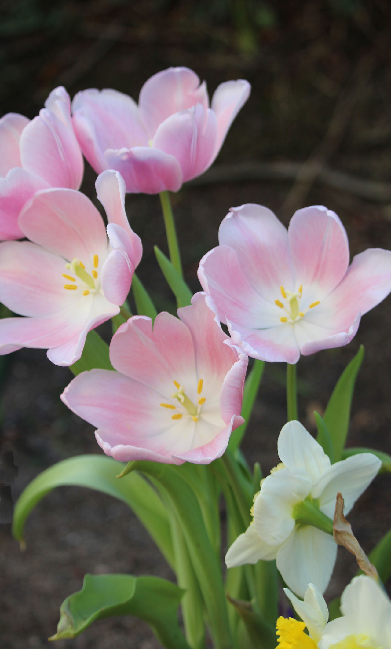 Pastel Colored Tulips Full Bloom Tulips OpenEdit Outstretched Tulip Outstretched Tulips Soft Pink Tulips Spring Tulip Tulips In The Su Pastel Power! Pastel Colors Pastel Colored Flowers
