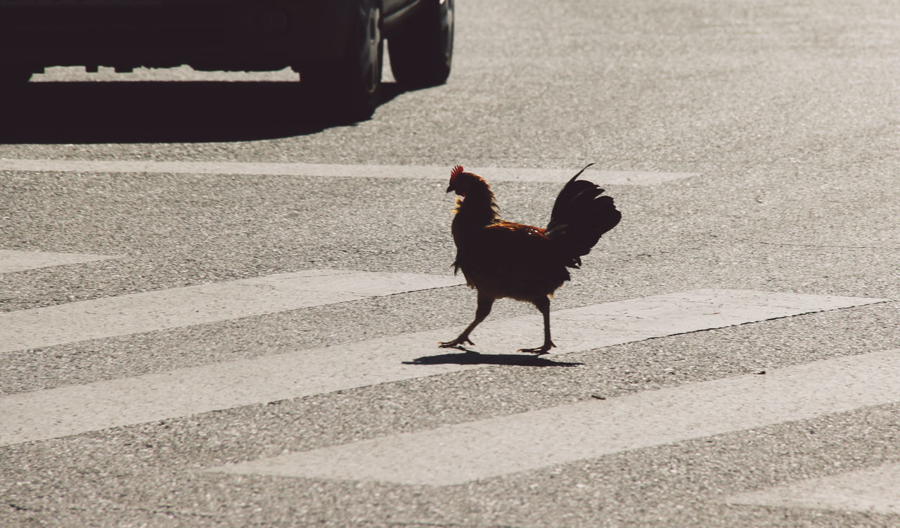 Beautiful stock photos of kreuz, Animal Themes, Asphalt, Bird, Car
