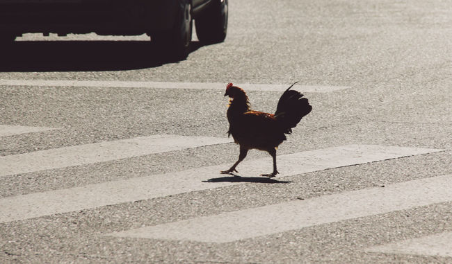 Animal Meinautomoment Bird Chicken Chicken Crossing The Street The Following Domestic Animals Feather  Friendship Full Length Fun Ground Leisure Activity Lifestyles Telling Stories Differently Male Animal Occupation One Animal Outdoors Pedestrian Crossing Rooster Rooster In The City Side View Standing Why Did The Chicken Cross The Street