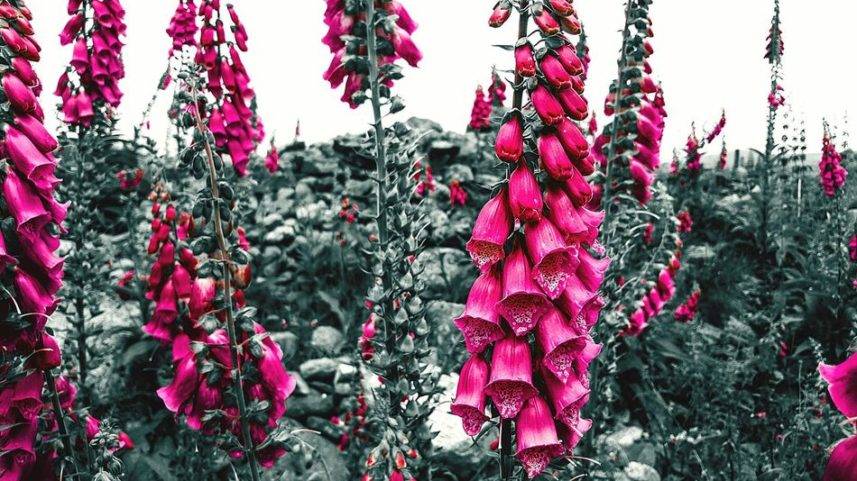 Red Hanging Nature No People Growth Outdoors Beauty In Nature Close-up Day Black And Red Black And Color Beautiful Flowers Pink Pink Color Foxglove Foxgloves Awesome Check This Out Beauty Nature Fragility Cool Followme