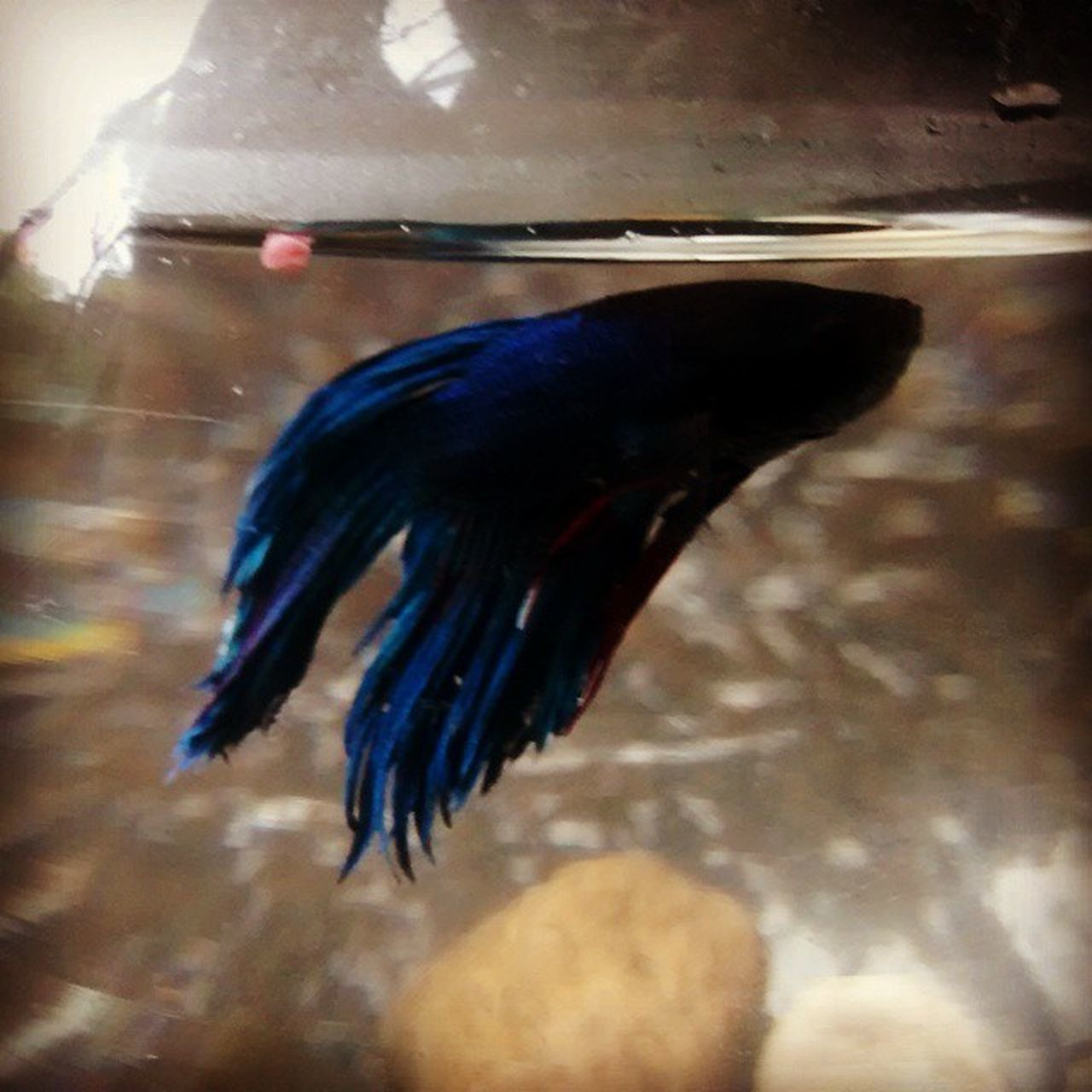 My new fighter fish