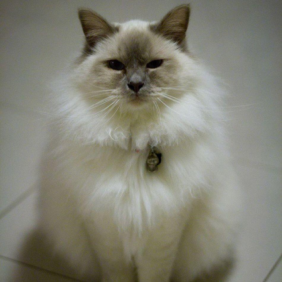 Birmancat Cat Instagramcat Lazycat lilac colorpoint catstagram petstagram fluffy cat