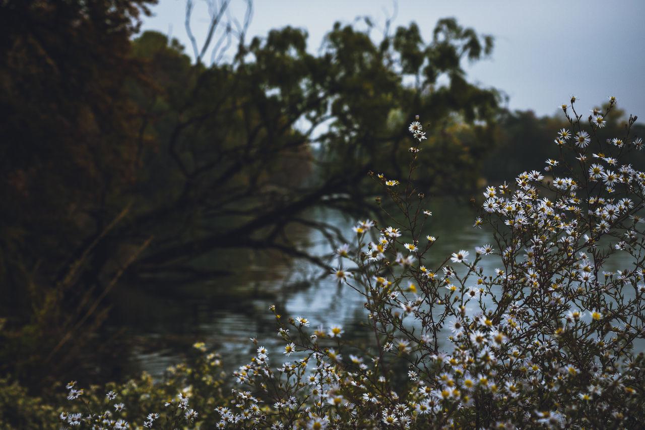 White Flowers Blooming Against Lake