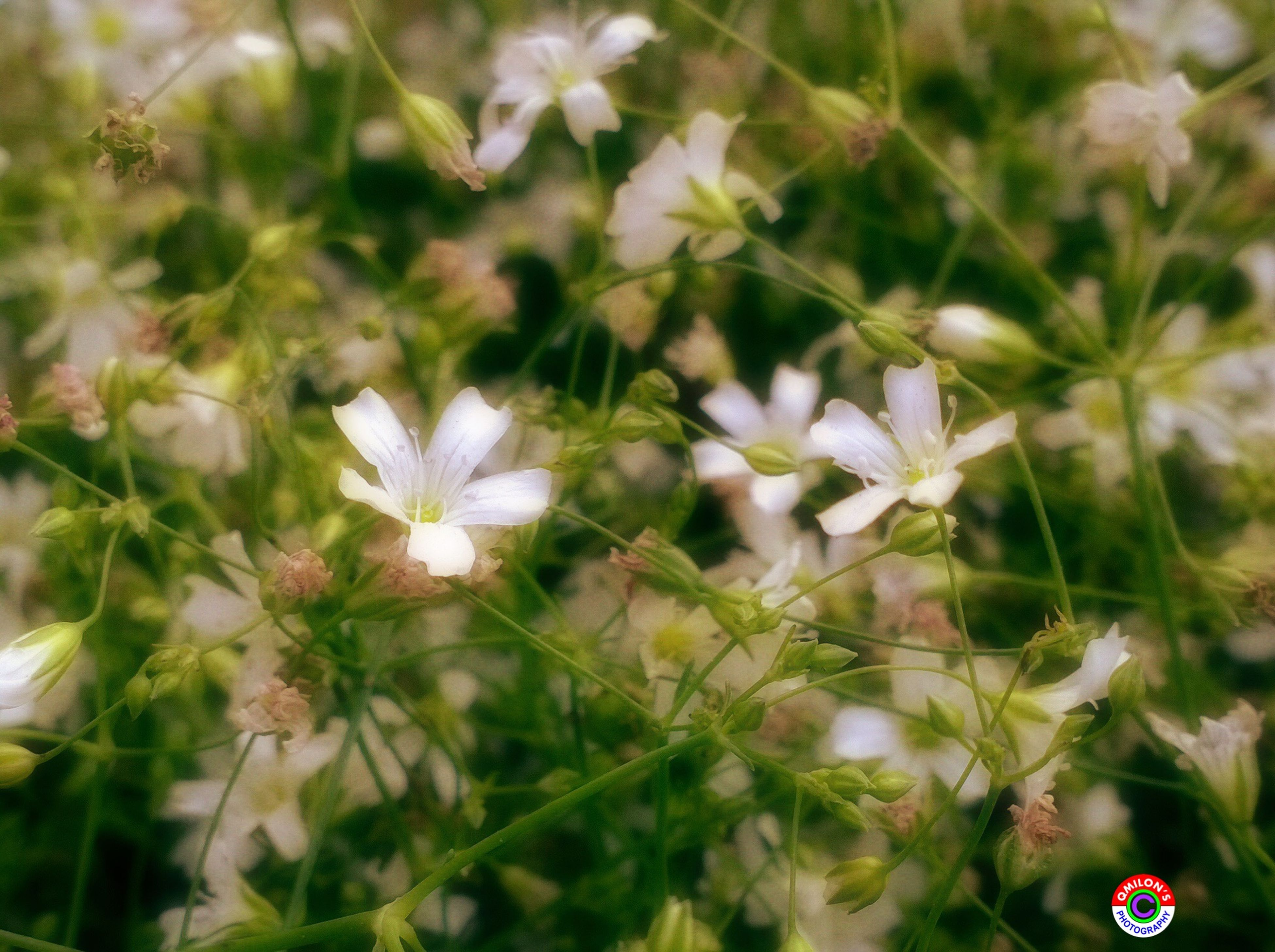 flower, freshness, growth, fragility, petal, beauty in nature, flower head, plant, blooming, nature, close-up, focus on foreground, in bloom, white color, selective focus, blossom, outdoors, stem, botany, springtime