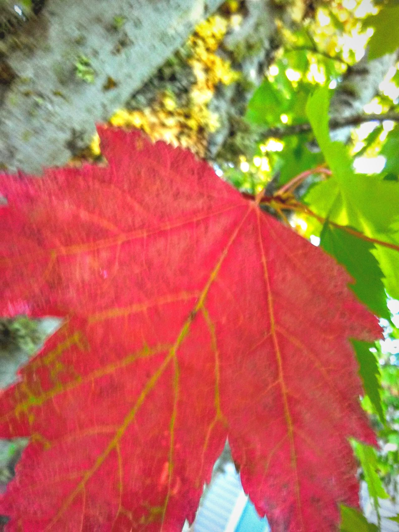 Leaves_collection Red Leaf Amongst Green Leaves Focus On Background Focus On Foreground Steamzoofamily Great Atmosphere Essence Of Summer Essence Of Fall Birds Eye View Up Close And Personal Eyeemphoto Color Palette Showcase August Outdoor Photography EyeEm Gallery Trees Sun And Sky Tree Lover Nature Photography Nature_collection Trees Outside Photography Spectacular Isnt Nature Grand? Brilliance  Bitchen View