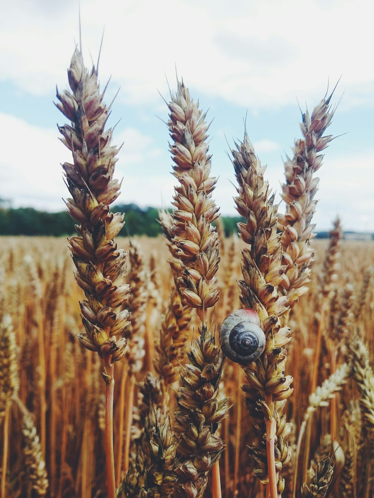 Vscocam Snail Corn Fields Skyline Taking Photos Check This Out Molusc Z3 Relaxing