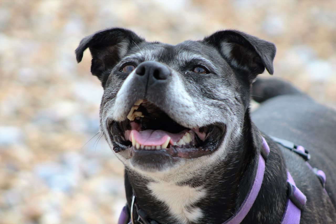 Cute Dog  Doglover Dog Love Dog Doggysmile Happiness Is A Dog At The Seaside 😄 Staffy Staffylovers Staffysmile Staffies There Softer Than You Think
