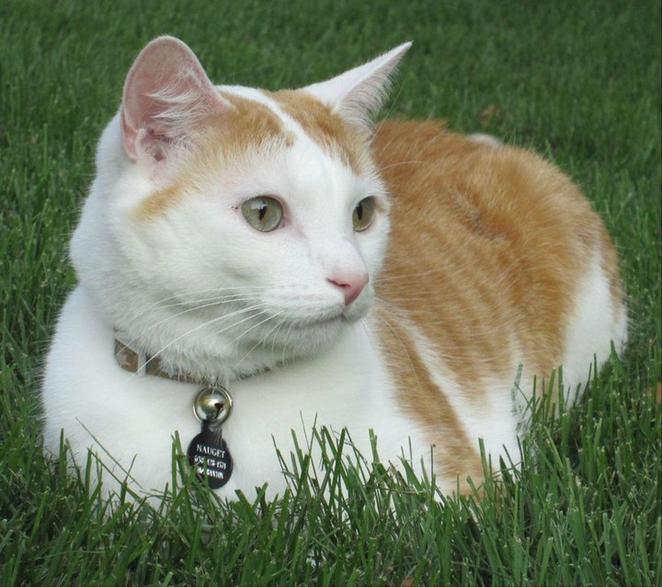 Love Cat Nauget