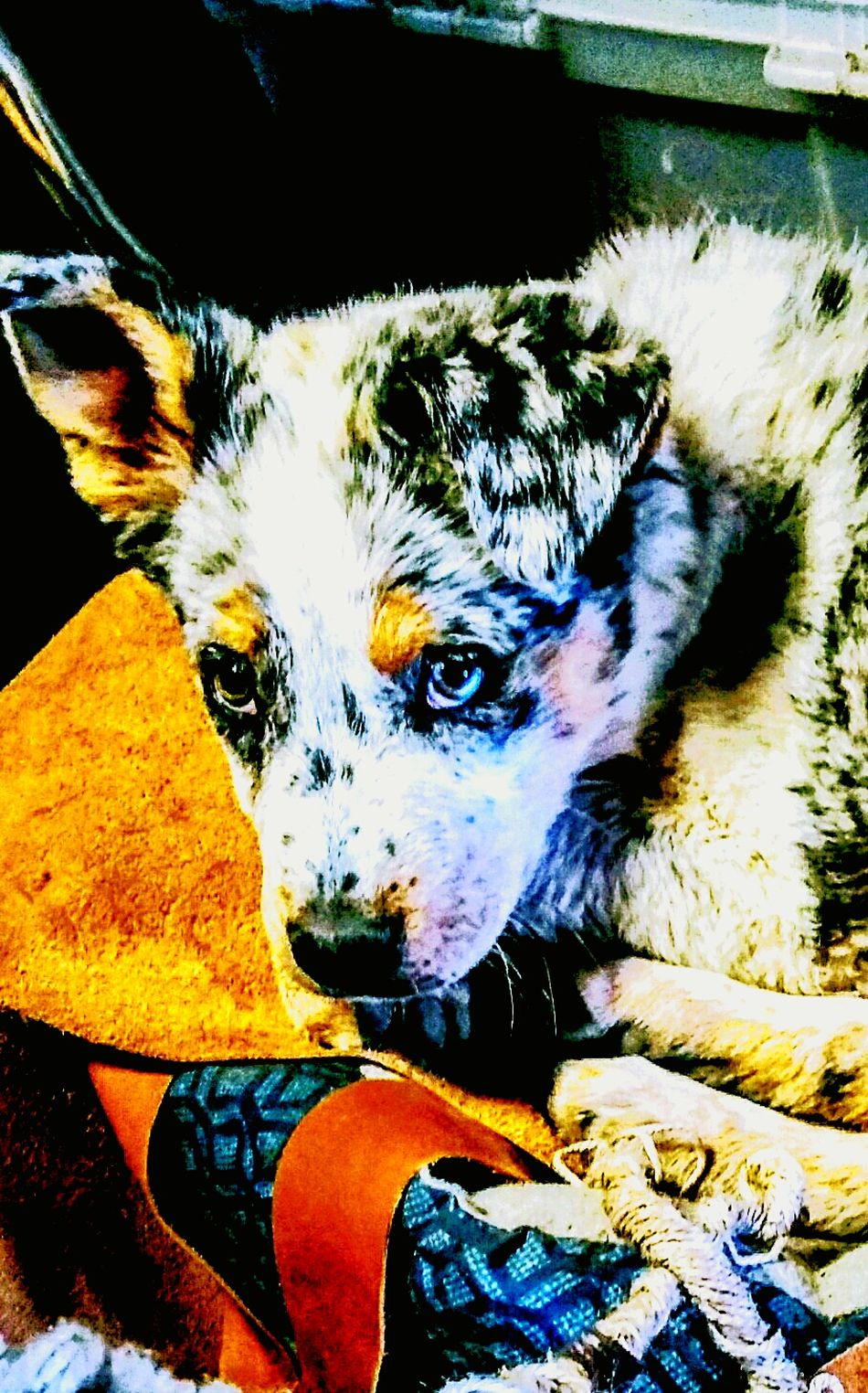 Ranch life Animal Themes Mammal Domestic Animals Pets One Animal Dog Puppy Austrailiancattledog Austrailian Shepherd Working Animal Ranch Ranch Dog Farm Cowboy Lifestyle Close-up No People Portrait Country Life