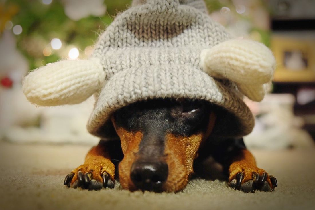 Dog Minpin Christmas