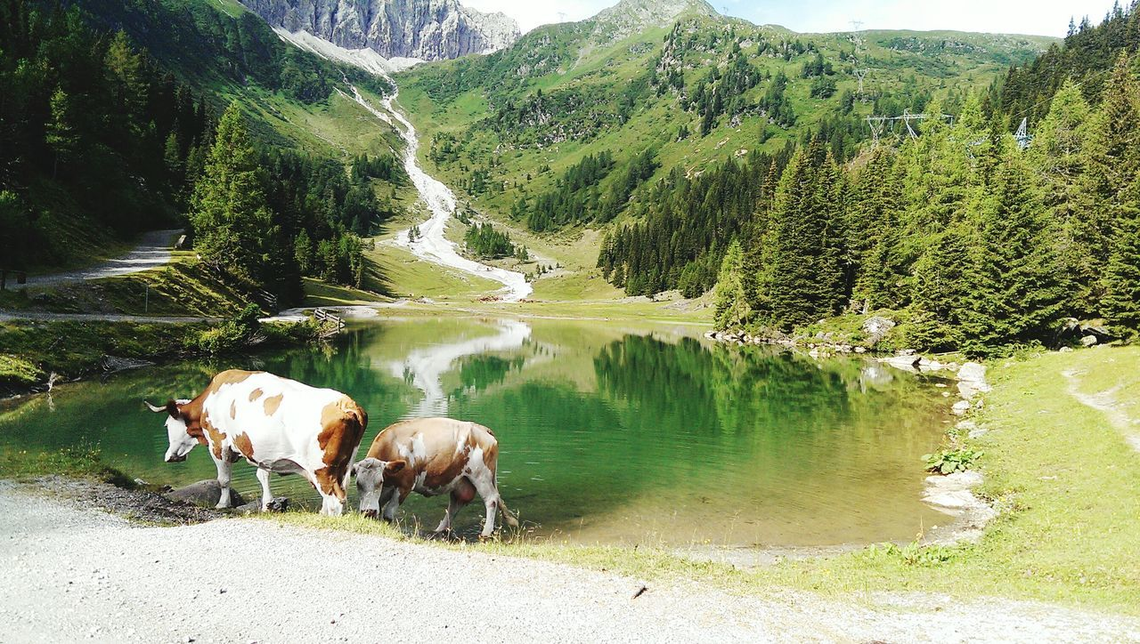 Nature Photography Cows