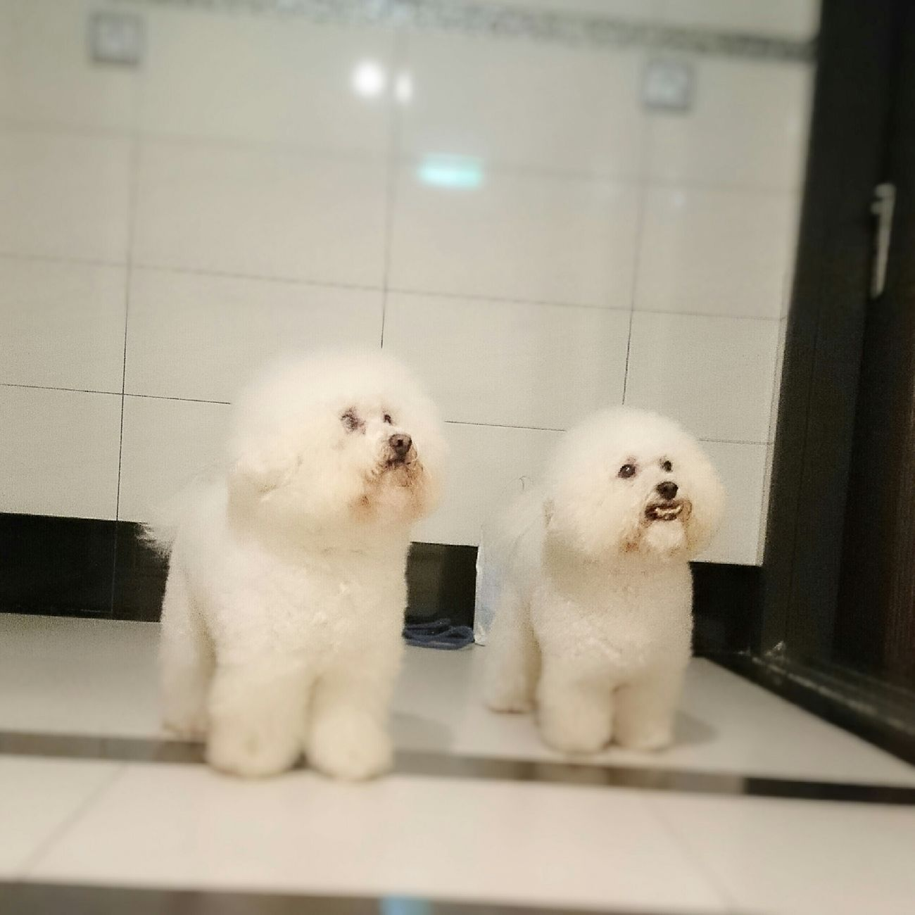 Waiting for the lift. 比熊 比熊犬 寵物 Bichon Bichonfrise Puppy Dog Pet Fluffy ビションフリーゼ