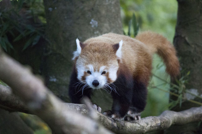Animal Themes Animal Wildlife Animals In The Wild Day Mammal Nature No People One Animal Outdoors Red Panda Tree