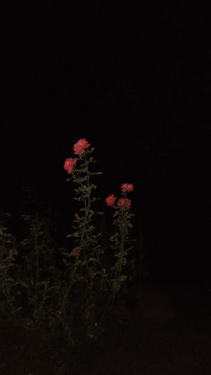 Rose - Flower Plant Black Background No People Night Red Nature Outdoors Beauty In Nature Lifestyles