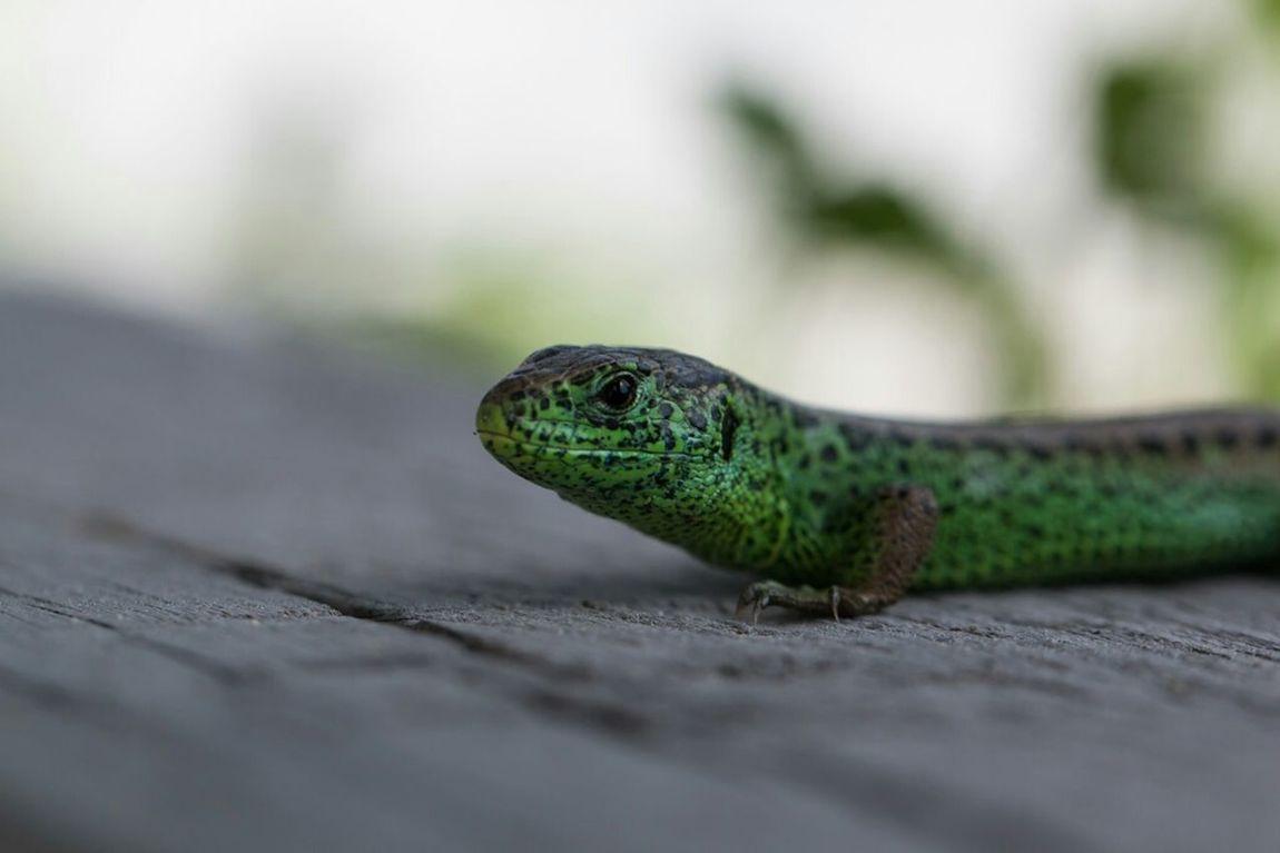 Reptilien Eidechse Lizard Lizards Reptiles Makro Macro_collection Grüne Eidechse
