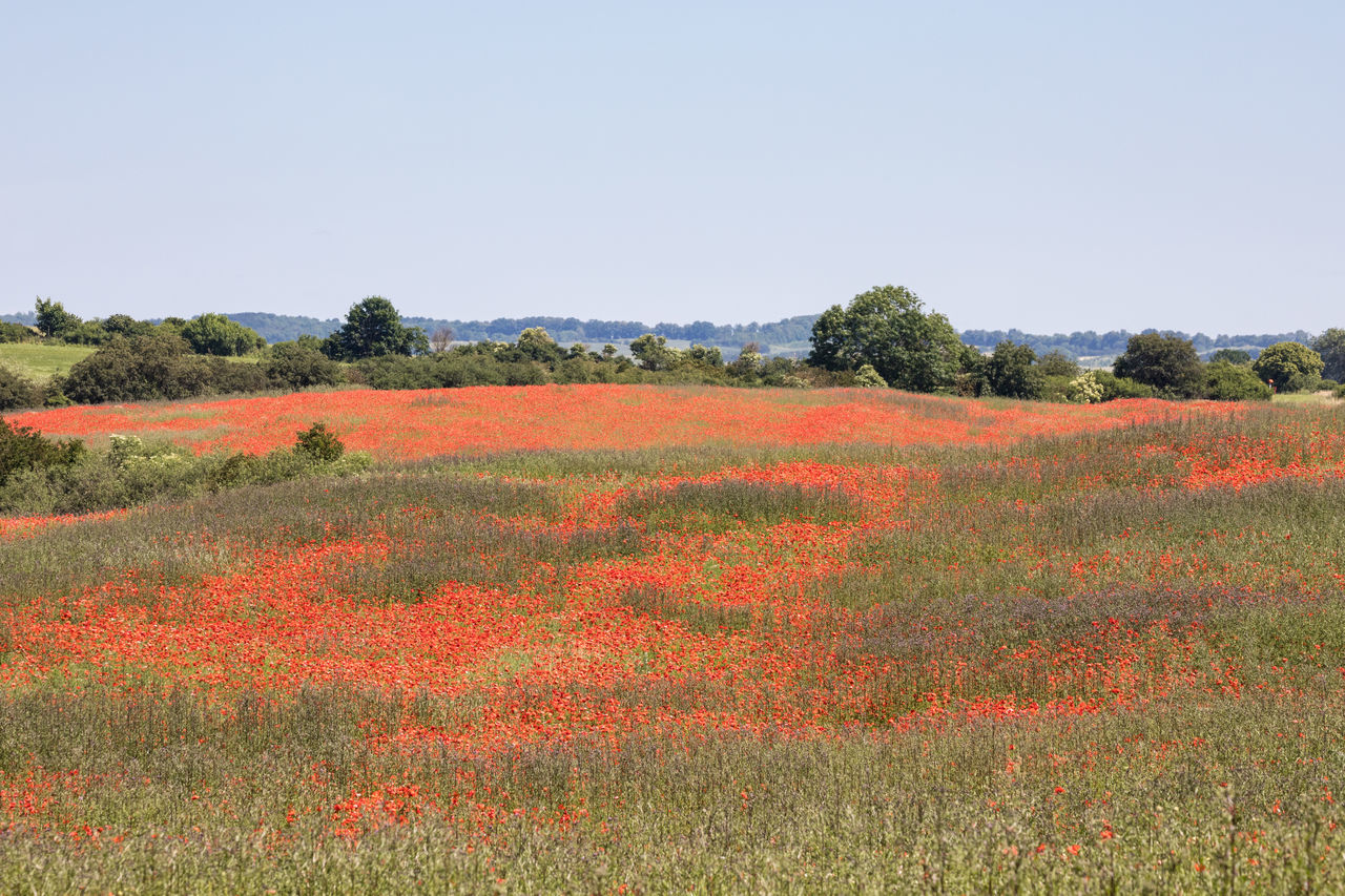 Huge field with wildflowers (poppies) ... red, red, red Agriculture Beauty In Nature Clear Sky Day Field Flower Forest Grass Growth In Bloom Landscape Meadow Nature No People Outdoors Plant Poppy Red Rural Scene Scenics Sky Springtime Summer Tree Wildflower