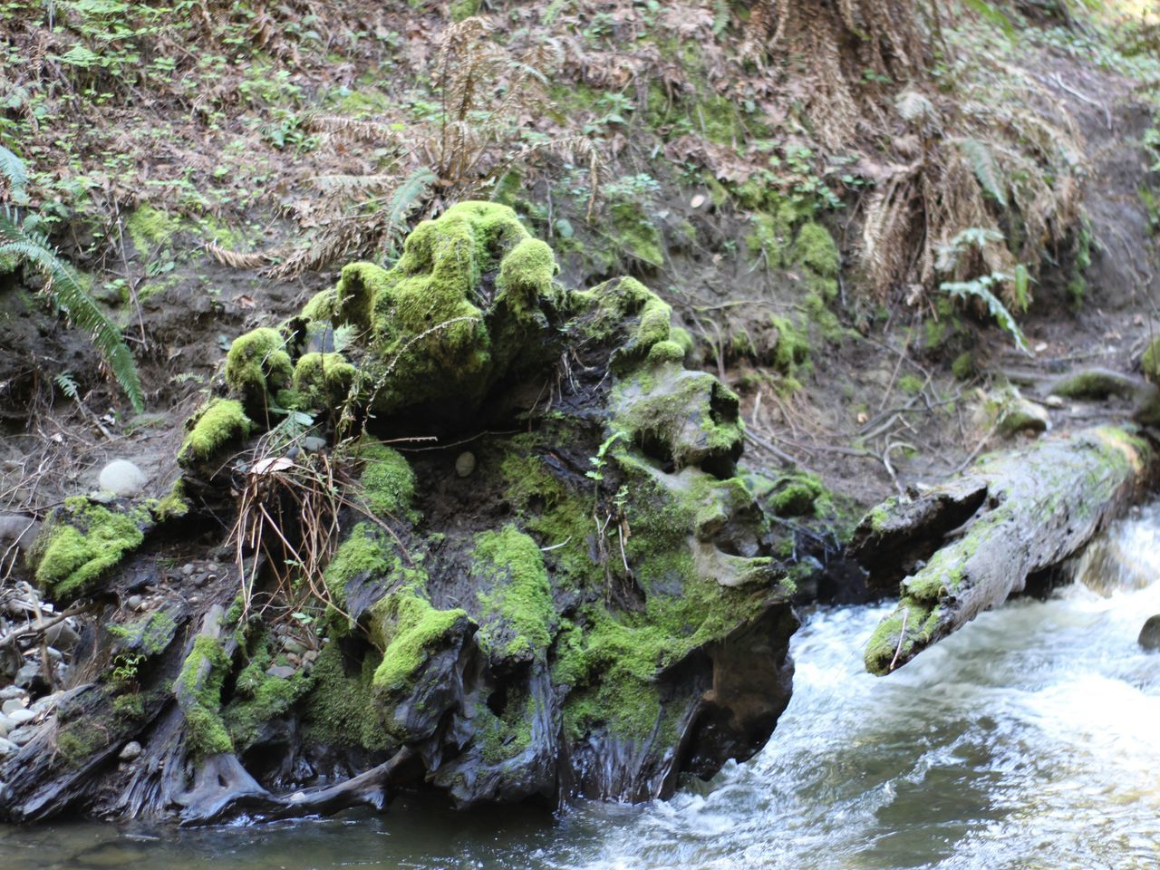 Water Nature Outdoors Growth No People Day Tree Green Color Tree Stump Stump Mossy Tree Moss Vacations Scenics California Explore Nature Dead Tree Beauty In Nature EyeEm Best Shots Northern California Lush Alive  Environment Redwoods Evergreen