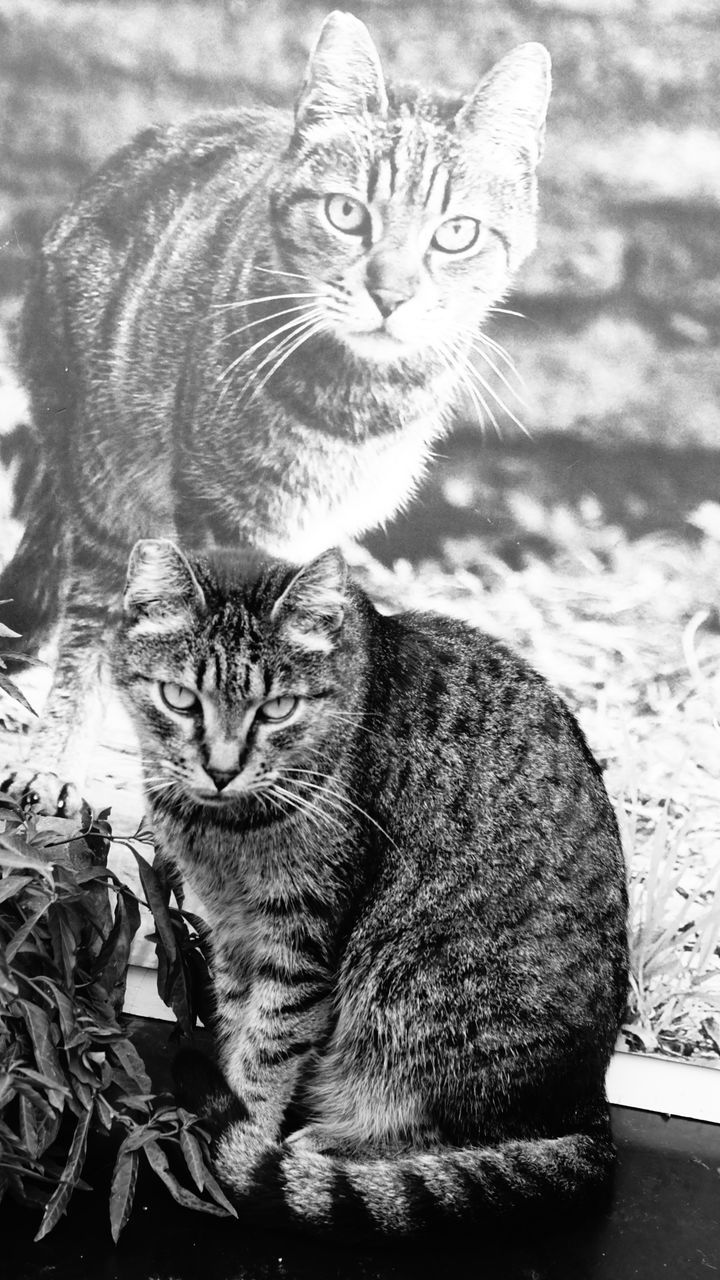 domestic cat, feline, cat, pets, animal themes, mammal, domestic animals, whisker, sitting, one animal, portrait, no people, looking at camera, nature, indoors, day, kitten