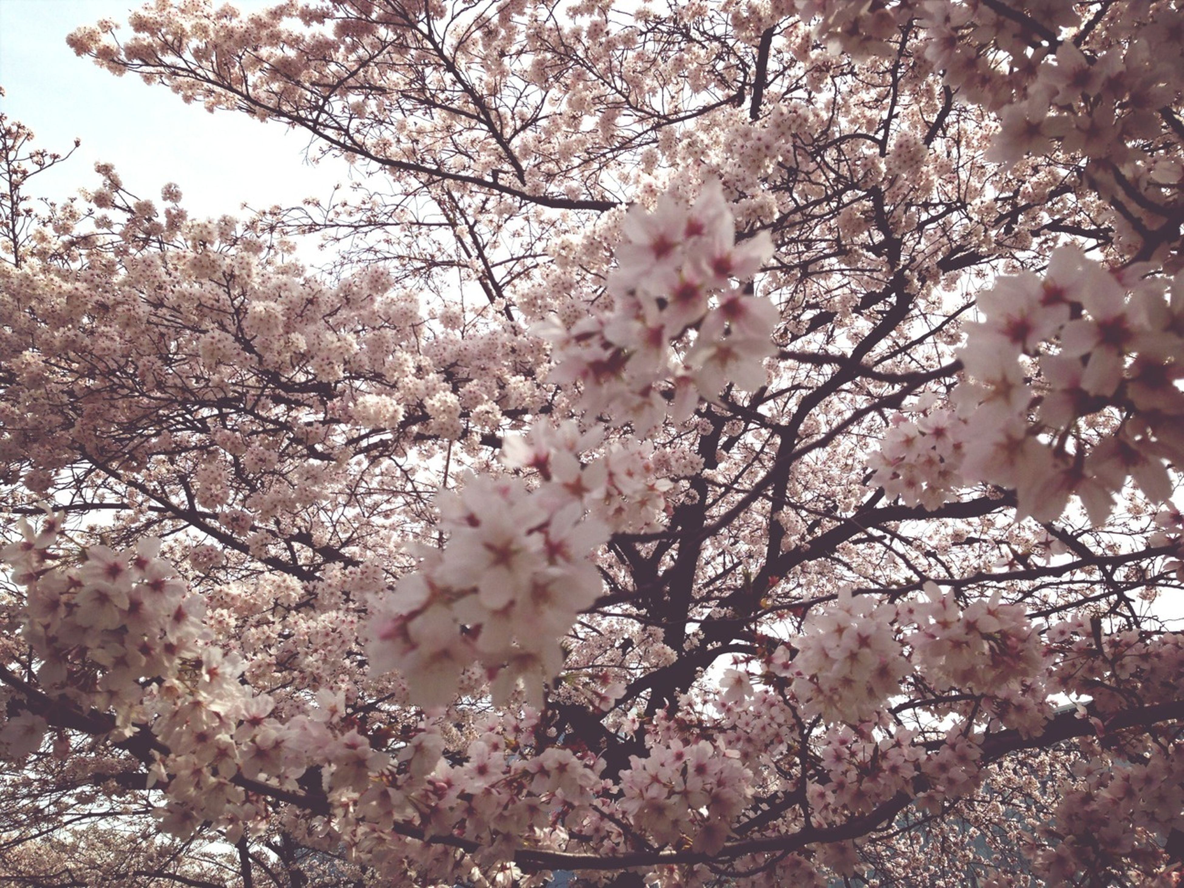 flower, tree, branch, freshness, growth, cherry blossom, cherry tree, beauty in nature, blossom, fragility, low angle view, pink color, nature, springtime, in bloom, fruit tree, blooming, petal, day, outdoors