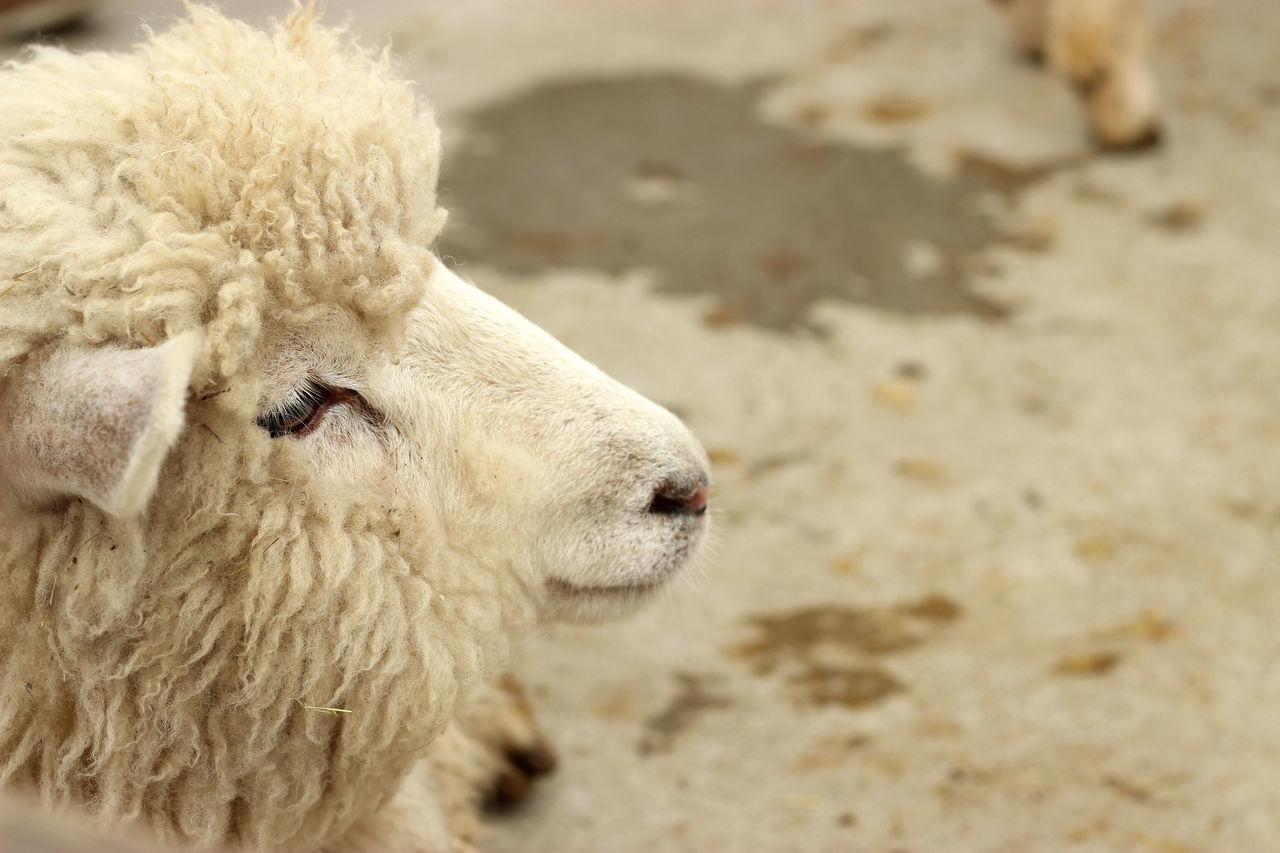 Close-Up Side View Of Sheep Standing On Street