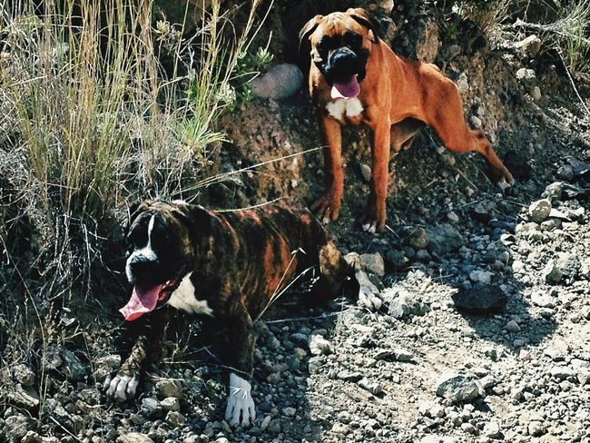 Dogs Sisters Boxer