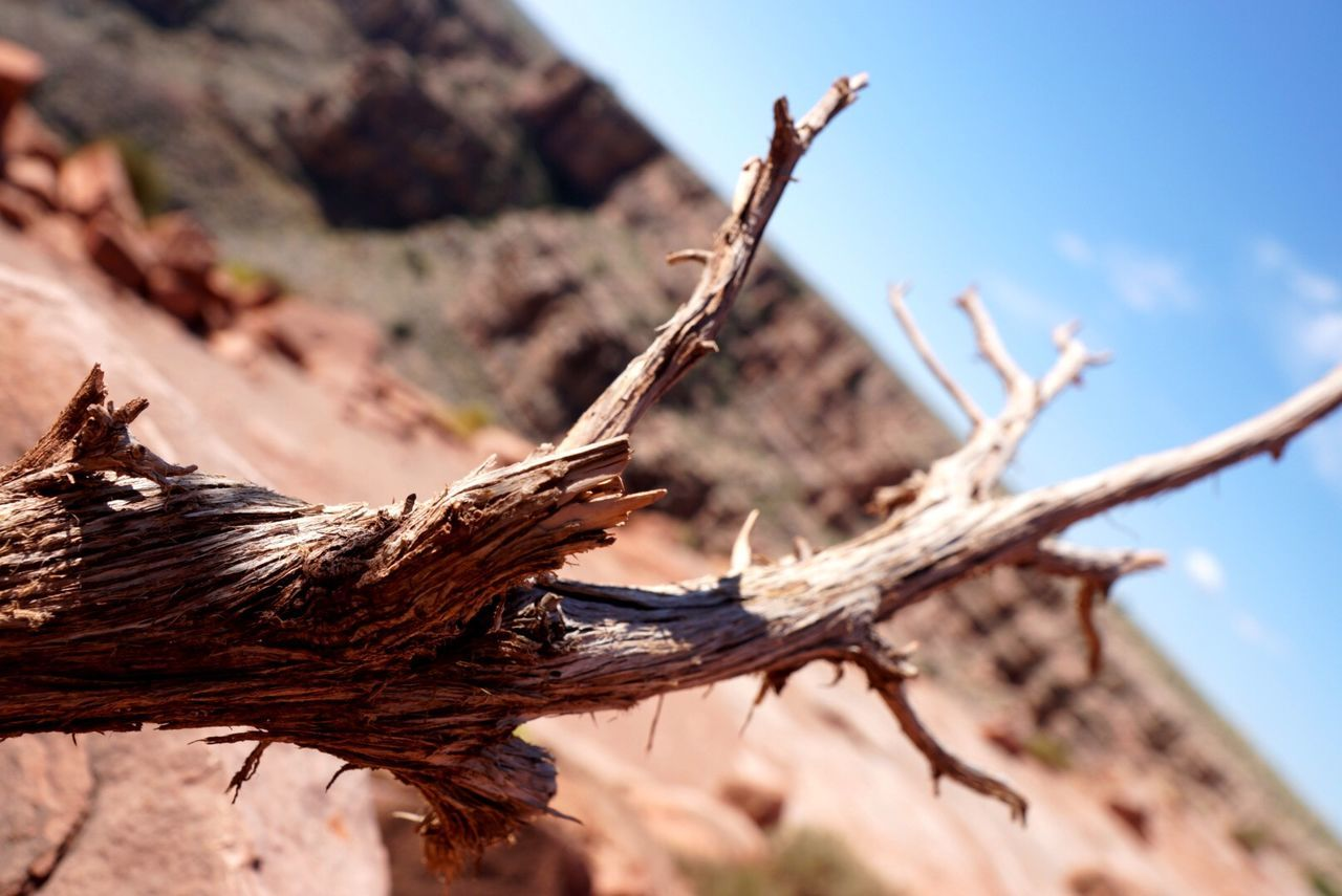 Close-Up Of Dead Tree In Grand Canyon