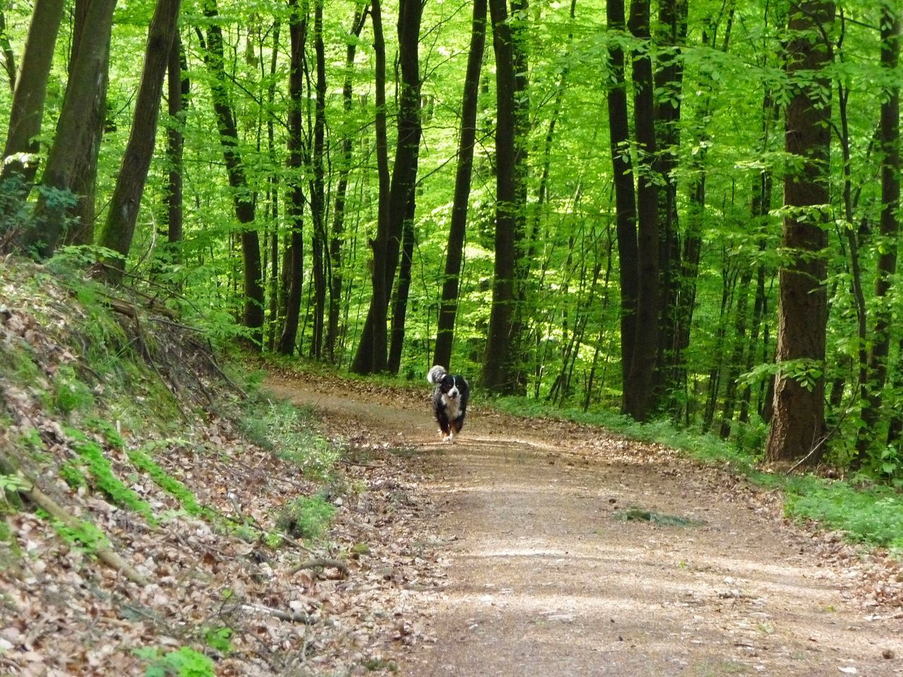 GERMANY🇩🇪DEUTSCHERLAND@ 2008 Schwarzwald Black Forest Dog Greater Swiss Mountain Dog May