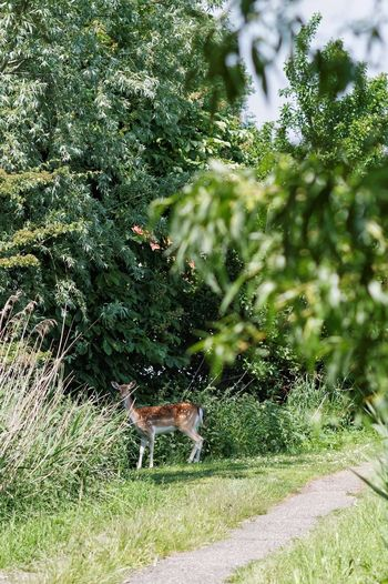 Deer Hunting Deer Dutch Countyside Dear Oh Dear Dutch Landscape Looking At Me