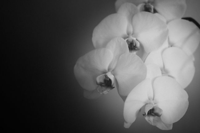 Orchid Blossoms Beauty In Nature Bloom Blossom Botany Bunch Of Flowers Close-up Flower Flower Collection Flower Head Fragility Freshness Growth In Bloom Monochrome Photography Nature No People Orchid Orchid Orchid Blossoms Petal Rose - Flower Single Flower Softness Springtime Stamen