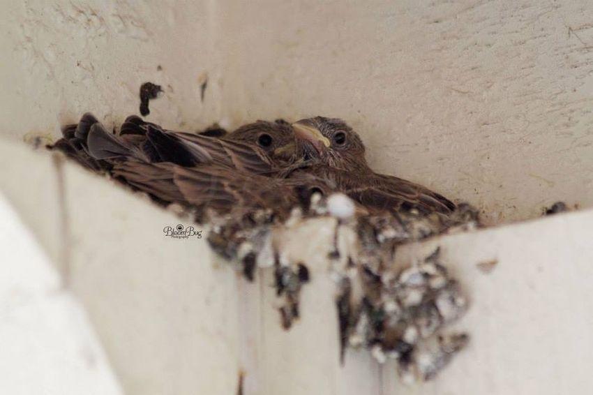 Baby finches Bird