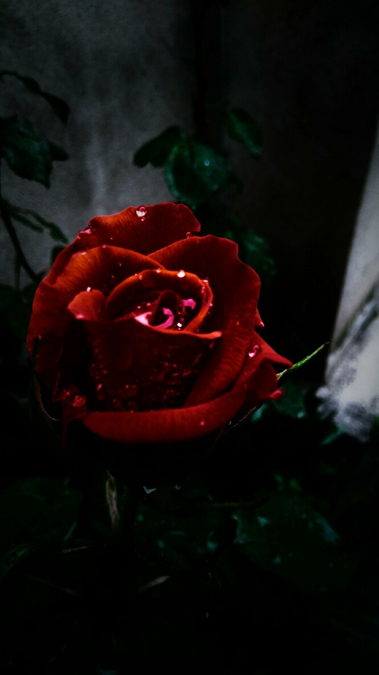 Rose🌹 Atmosphere Beauty_collection Shadowplay Beauty In Ordinary Things Bold And Beautiful Bunch Of Magical Thoughts