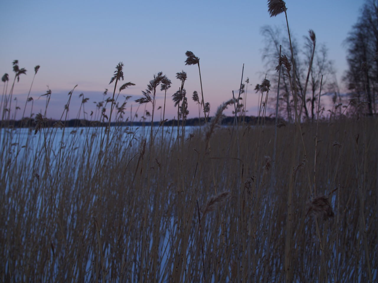 reeds A Bed Of Reeds Beauty In Nature Nature Outdoors Reeds Sunset Winter Time Wintertime