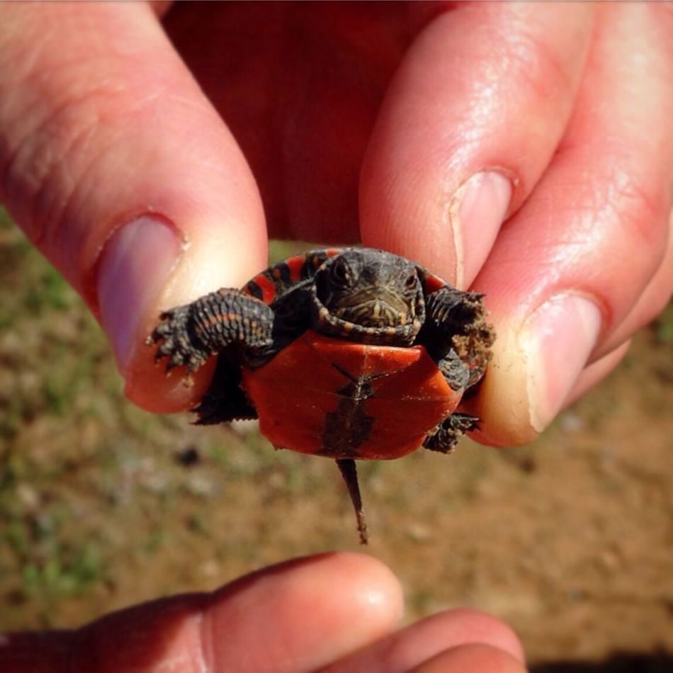 Baby Turtle Tiny Turtle Love Turtle Painted Turtle