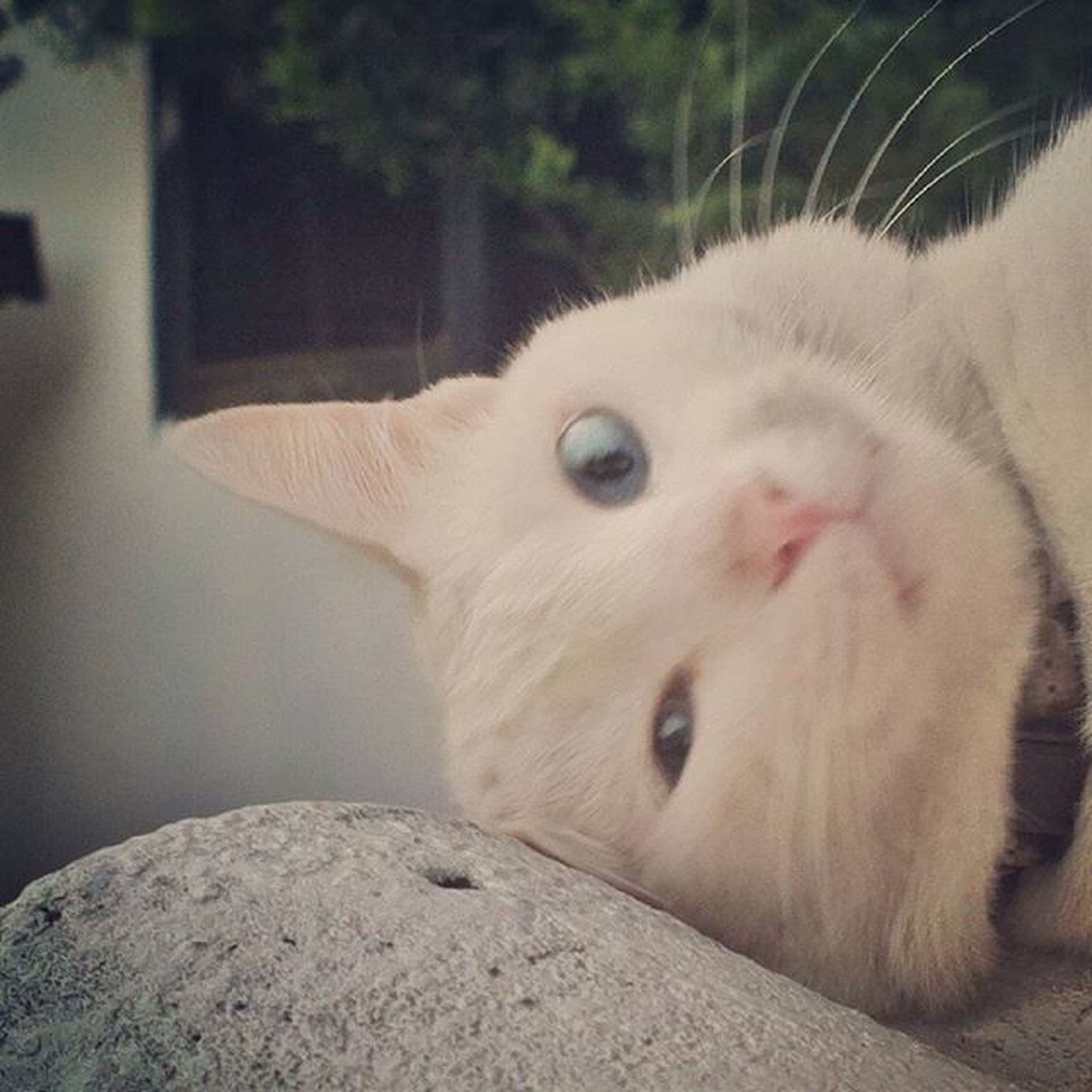 animal themes, one animal, domestic animals, mammal, pets, close-up, animal head, indoors, white color, portrait, looking at camera, relaxation, zoology, domestic cat, focus on foreground, whisker, animal body part, cute, front view