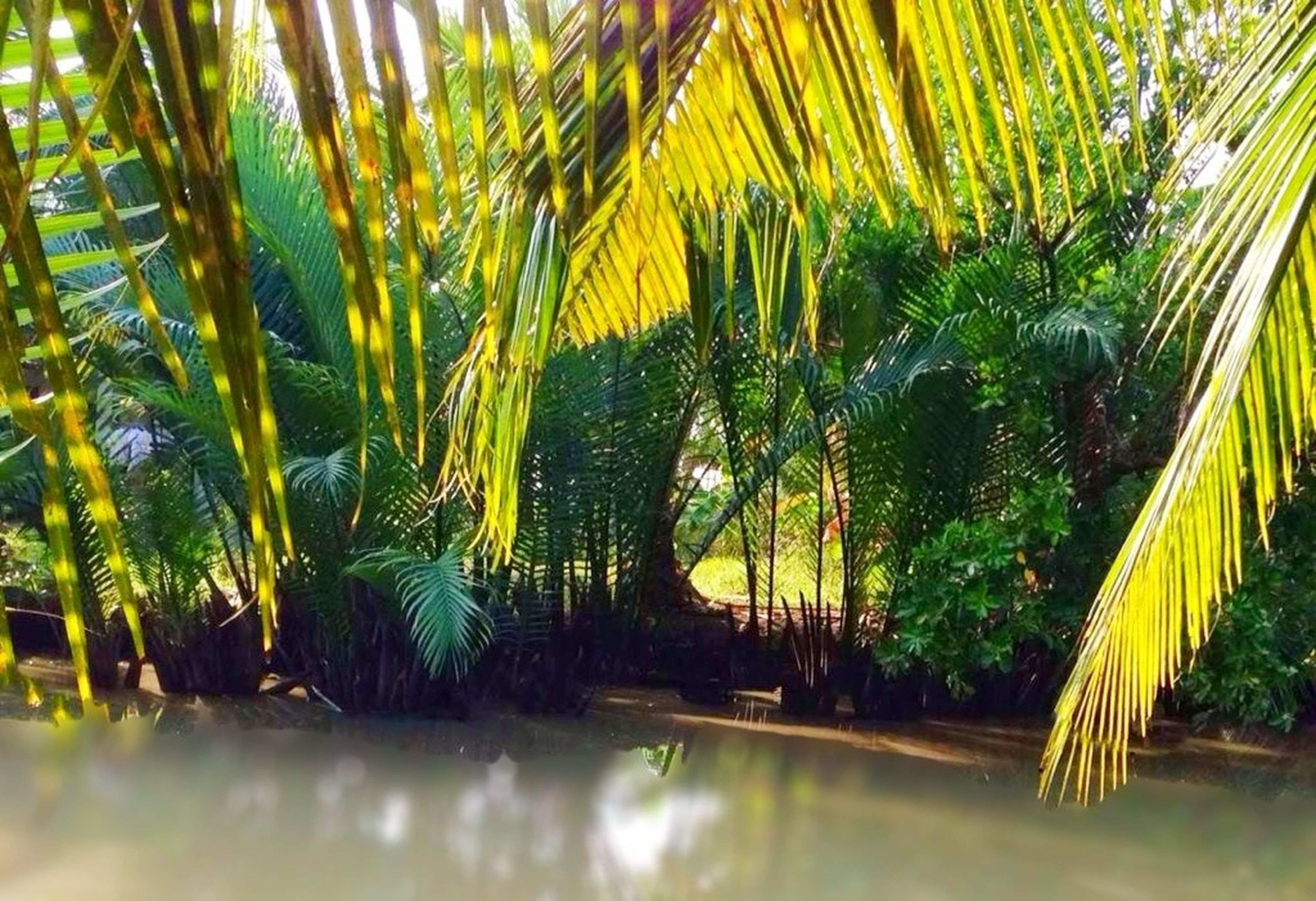 growth, tree, green color, nature, tranquility, palm tree, beauty in nature, water, plant, reflection, leaf, tranquil scene, outdoors, waterfront, pond, scenics, no people, day, sunlight, green